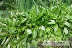 Recept Vegetable salad with lamb's lettuce - lamb´s lettuce
